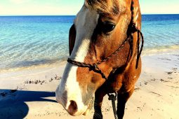 Normanville Beach Horses
