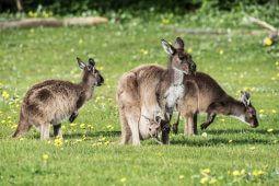 Native Kangaroos